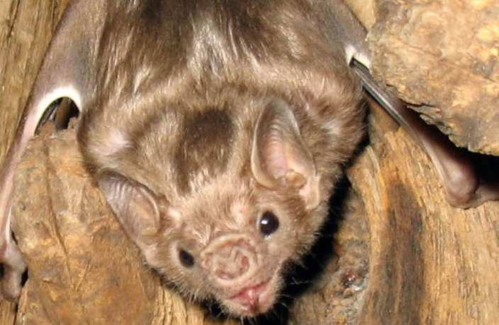 White-winged vampire bat