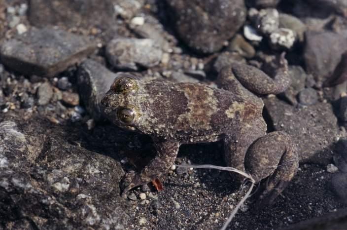 Bornean flat headed frog