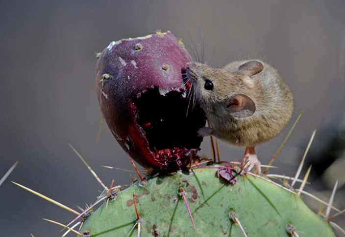 Deer mouse chewing on cactus fruit