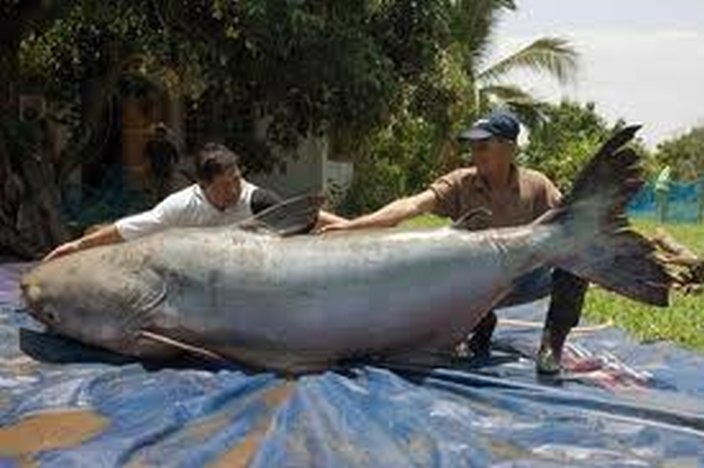 10 largest biggest fresh water fish in the world