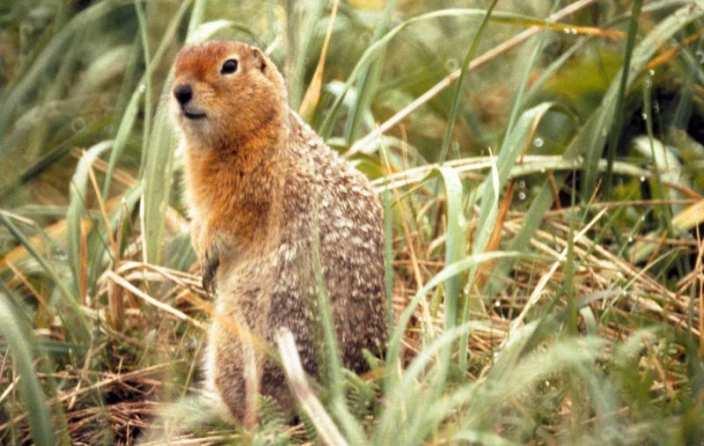 Ground squirrel in tall grass