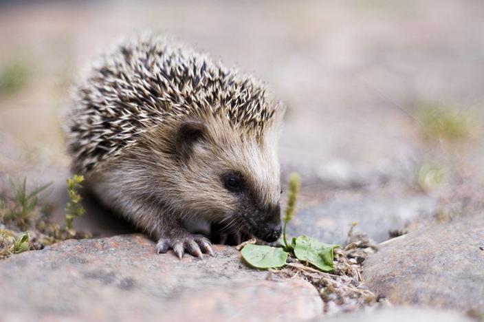 Hedgehog on stone terrain