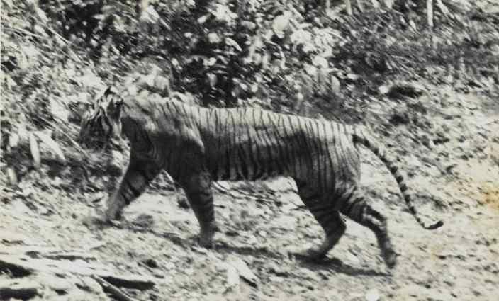 Black and white image of Javan Tiger