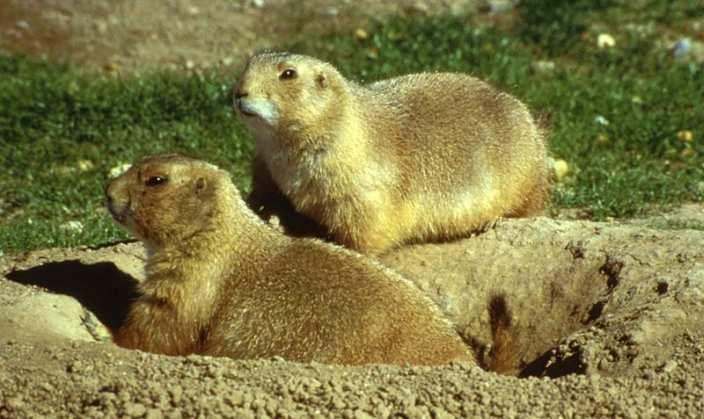Prairie dogs in hole in field