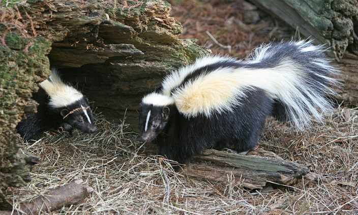 Striped skunk in front of rotted out log