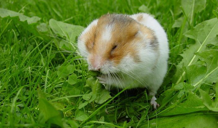 syrian hamster eating grass
