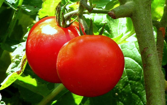 Growing Tomatoes In Pots: Here's What You Need To Know