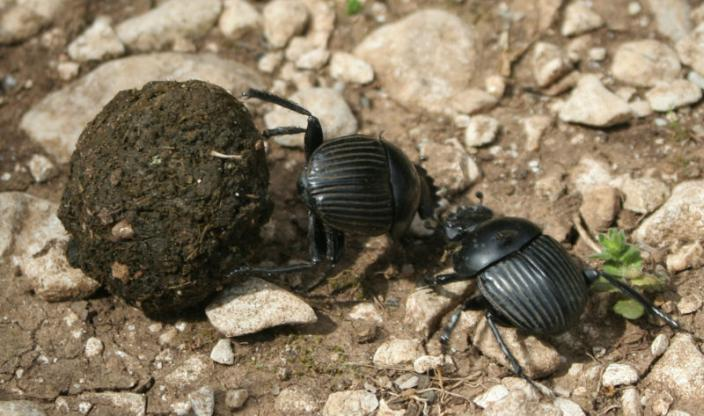 2 dung beetles