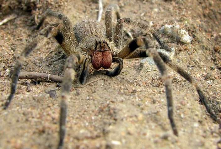 10 Of The World S Largest Spiders