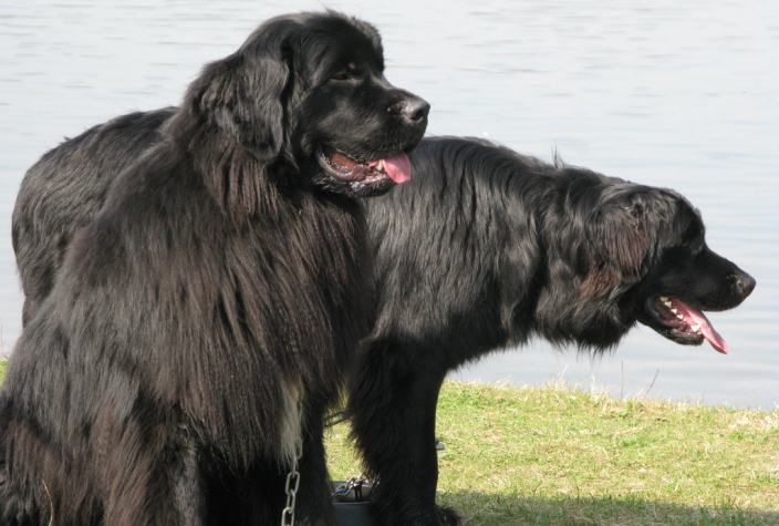 10 Largest Dog Breeds in the World - Conservation Institute