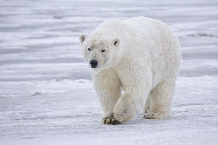 Tundra Animals: 6 Arctic Animals Perfectly Adapted For ...