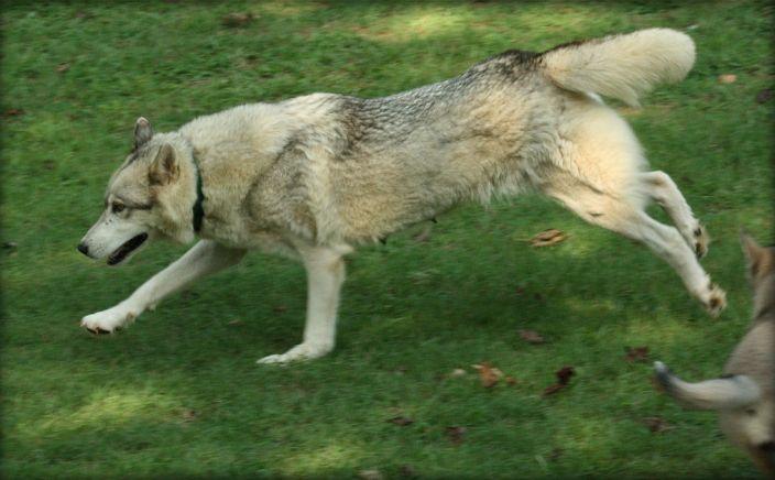 Wolf Dog Running in grass