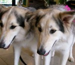 clone-dog