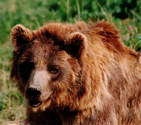Traveling in Brown Bear Country