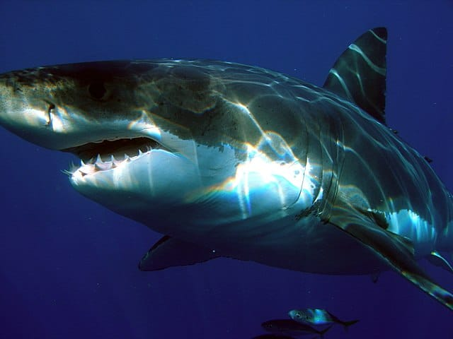 Great white shark in ocrean