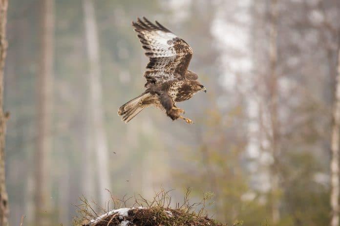 predatory hawk flying