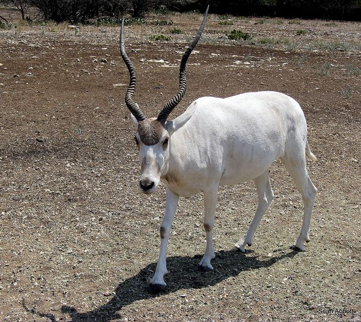 Addax Antelope (Sean Abbott/Flickr)