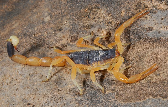 Death Stalker Scorpion (Art/Flickr)