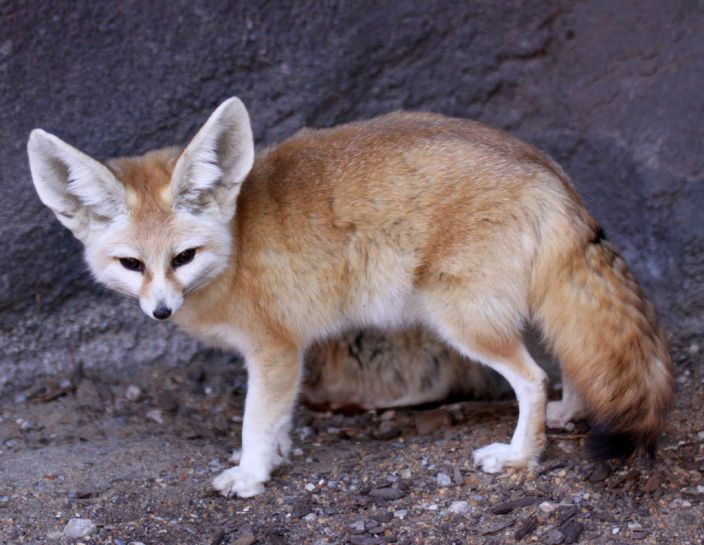 Fennec Fox (Drew Avery/Flickr)