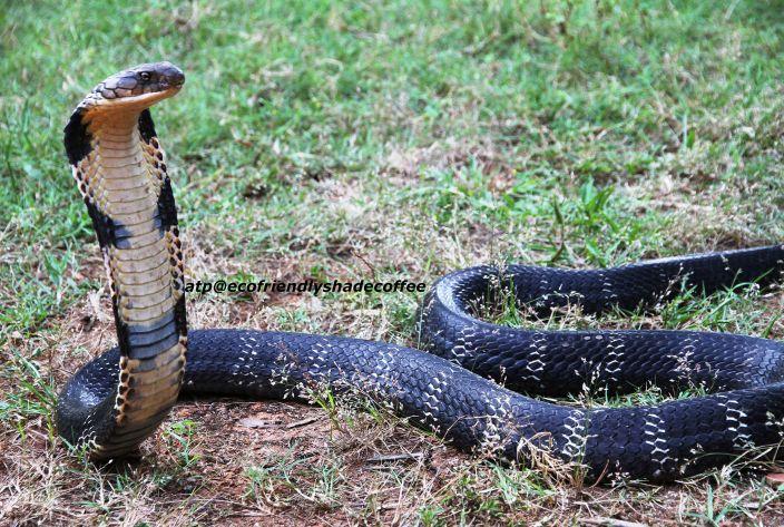 King Cobra (Michael Allen Smith/Flickr)
