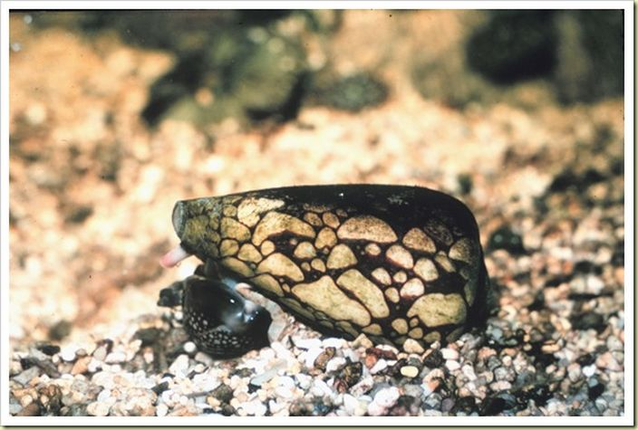Marbled Cone Snail (Picdd/Flickr)