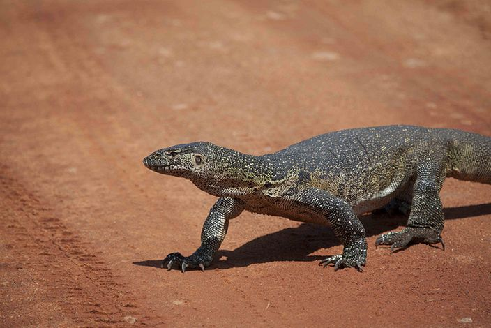Monitor Lizard (Gmacfadyen/Flickr)