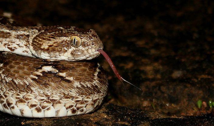 Saw Scaled Viper (Bhavya Joshi/Flickr)