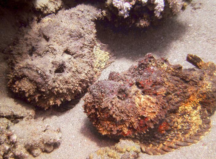 Stone Fish (Warner Bates/Flickr)