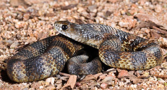 Tiger Snake (Barry Kiepe/Flickr)