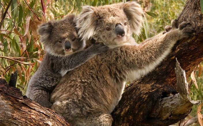 Koala Facts - About Koalas - What Do Koalas Eat? Where Do ...