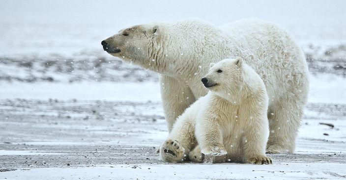 polar bears on icy terrain