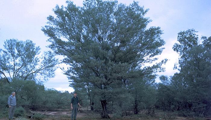 Acacia (Wikimedia)