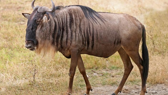 Blue Wildebeest (Wikimedia)