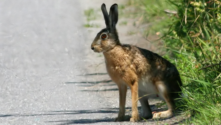 Brown Hare (Wikimedia)
