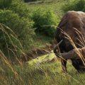 Cape Buffalo (Wikimedia)