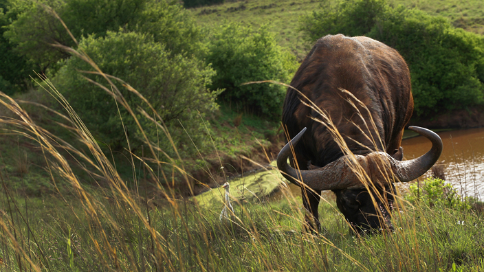 cape buffalo in grass in front of water