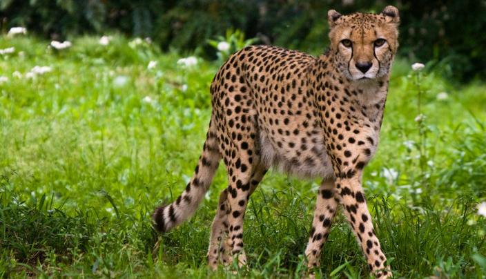 Cheetah (Wikimedia)