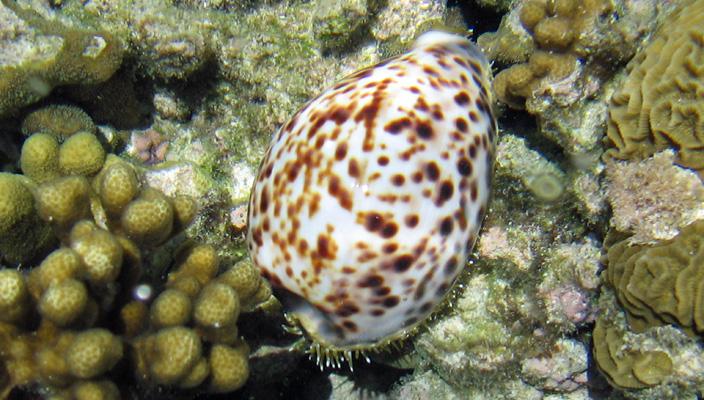 Cone Snail (Wikimedia)