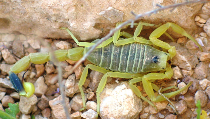 close up of deathstalker scorpion