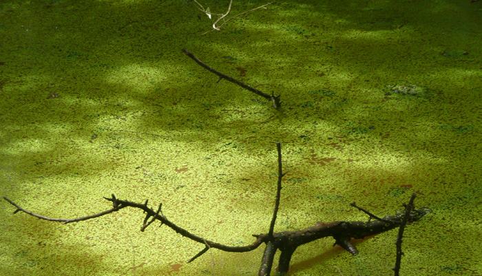 duckweed in pond with branch sticking out