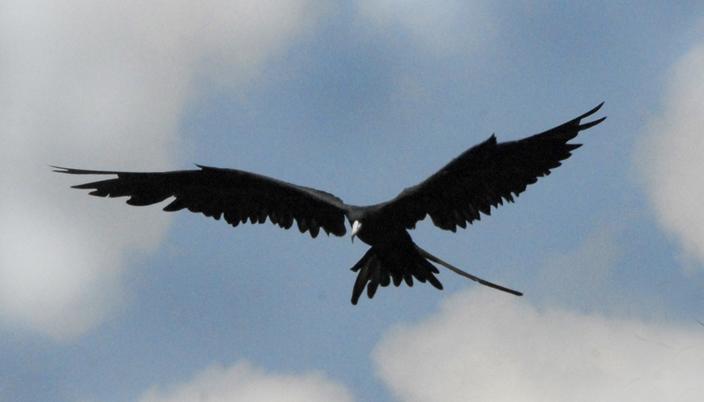 Frigate Bird (Wikimedia)