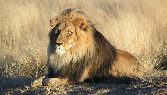 Lion (Wikimedia)