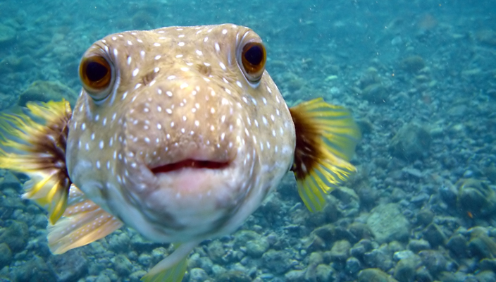 close up of puffer fish