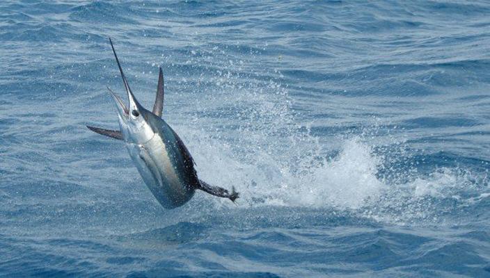 Sail Fish (Wikimedia)