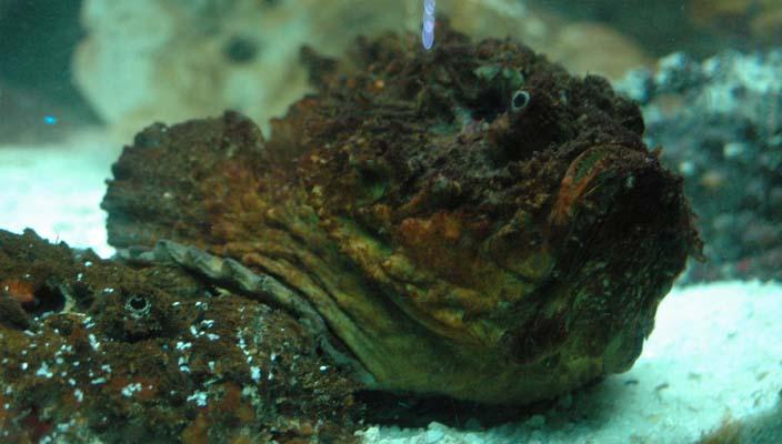stonefish in aquarium