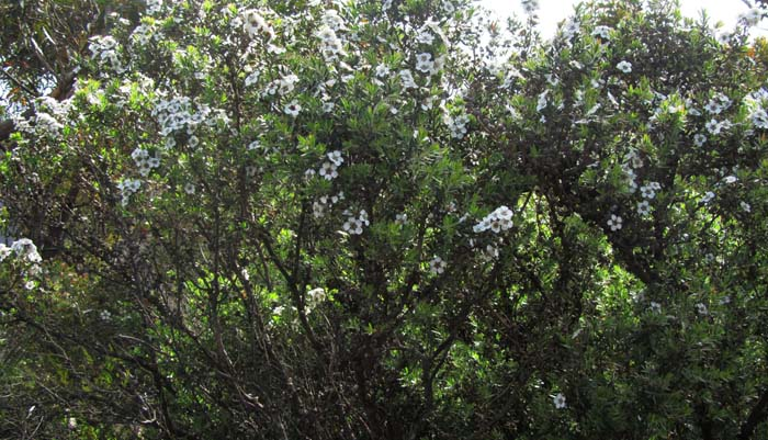 Tea tree with white flowers