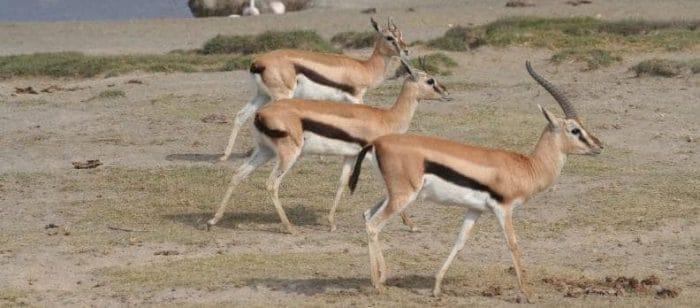 Thomson's Gazelle (Wikimedia)