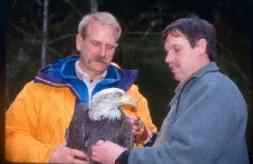 Bald Eagle Facts (Haliaeetus leucocephalus)