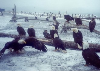 group of bald eagles