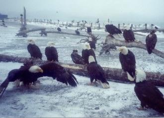 bald_eagle_group